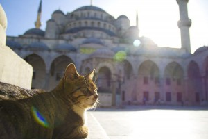 Blue Mosque Cat